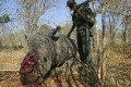 California Father and Son Rhino Horn Smugglers Imprisoned