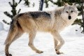 Public Employees Sue Over 'Political Deals' Behind Wolf Delisting