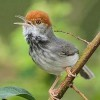 Scientists Find New Bird in Cambodia's Capital City