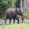 Congolese Ivory Kingpin Imprisoned for Five Years