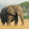Clinton Global Partners Commit $80M to Save Africa's Elephants