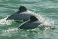New Zealand's Endangered Dolphins Slide Toward Extinction