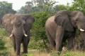Governments Crack Down on Elephant Poachers, Ivory Smugglers