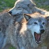 One Million Protest Stripping Wolves of Endangered Listing
