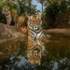 Wild Tigers: the Time to Act Is Now