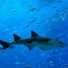 Global Protection Strategy Proposed for Endangered Sawfish