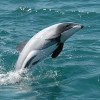 New Zealand Green Party Hopes to Save World's Rarest Dolphin