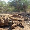Poachers Killed 100,000 Elephants in Three Years