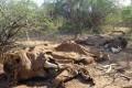 Poachers Killed 100,000 Elephants in Three Years