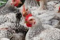 Eating Chicken, Not Beef, Yields Climate Benefits