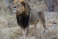 Zimbabwe Seeks Extradition of Lion Killer From USA