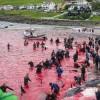 Sea Shepherd Wages War on Faroe Islands Whale-Killers