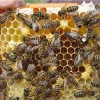 Honey Bee Queens Harmed by Neonicotinoid Pesticides