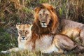 U.S. Protects Lions Under Endangered Species Act