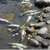Fish-Killing Parasite Forces Yellowstone River Closure
