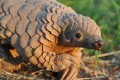 Pangolins, Elephants, Crime Syndicates on CITES' Radar