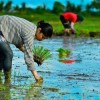 Climate-Smart Rice the 'Crop of the Future'