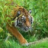 Endangered Tigers Face New Enemy – Wire Snares