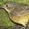 Venezuelan Bird Feared Extinct for 60 Years Found