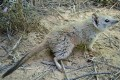 Mammal Thought Extinct in New South Wales Rediscovered