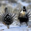 Rare Dancing Birds to Get Recovery Plan