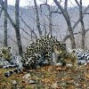 Amur Leopards Could Go Extinct as Numbers Dwindle