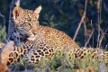 South Africa Licenses Leopard Hunting