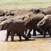 UK Bans Ivory Sales to Save Elephants