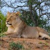 High-Level Panel to Review South Africa's Lion Bone Trade