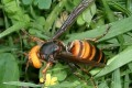 First Invasive 'Murder Hornets' Found in United States