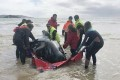Worst Whale Stranding in Australian History: Hundreds Die