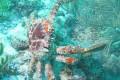 Seaweed-Loving Crabs Help Restore Caribbean Corals