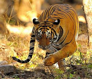 India's New Wild Tiger Census Shows Population Increase   ENS