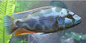 尼亞薩湖中有許多慈鯛科魚類,例如這種李氏慈鯛 (Nimbochromis Livingstonii)。圖片來自:ENS報導 / James Riley 。
