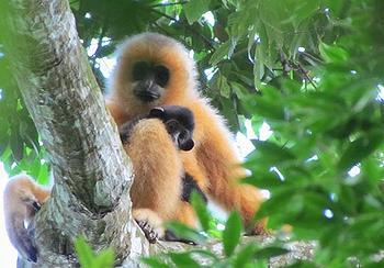 Hainan gibbon