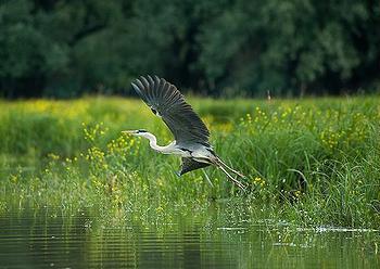 Danube heron