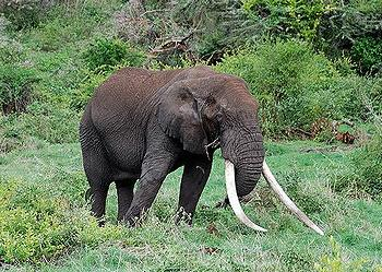 elephant, tusks