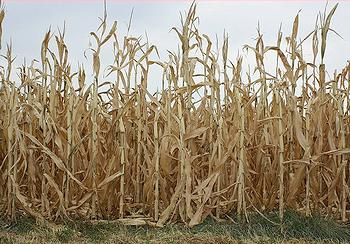 drought, corn
