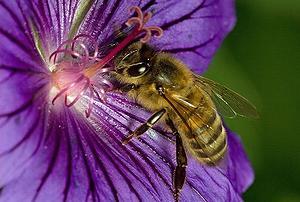 bee, flower