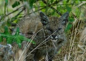 poisoned bobcat
