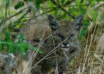 poisoned bobcat