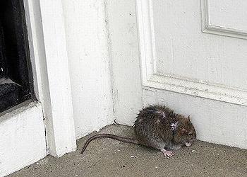 rat, Boston