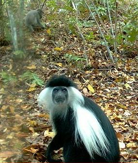 a study of colobus monkey Iss 220 exam 2 study guide by akash3yerukola iss 220 exam 2 study guide colobinae: african colobus monkeys and asian langurs geographic range, diet.