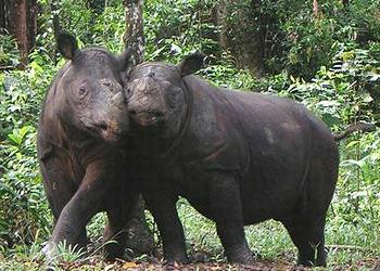 Sumatran rhinos