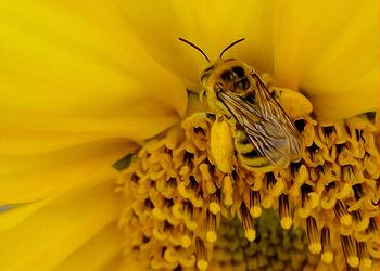bee, sunflower