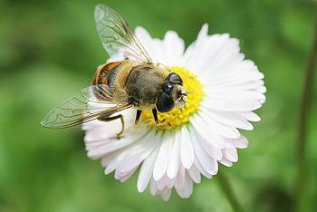 Honey Bee Decline Due to 'Complex' Multiple Factors | ENS