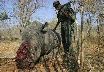 rhino corpse
