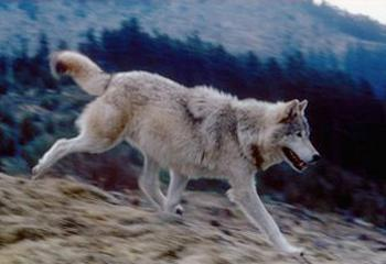 Gray wolf in Idaho (Photo courtesy Idaho Fish & Game)