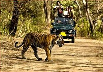tiger, tourists