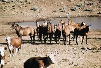 wild horses, cattle